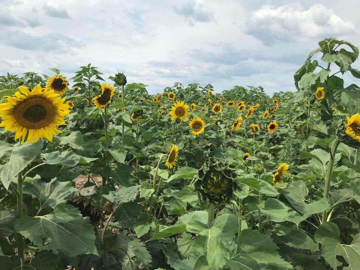 Hanes Sunflower Maze
